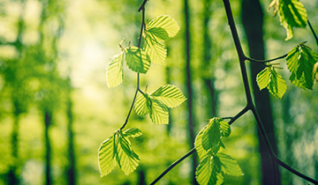 Green beech leaves in a forest at springtime